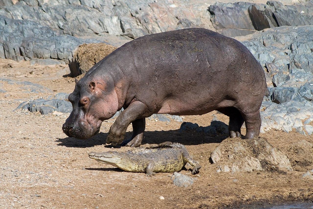 K Lite Hippo File File:Hippo and croco.j...