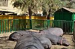 Hippopotamus At Fayoum By Hatem Moushir 2.JPG
