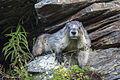 Hoary Marmot (21485615115).jpg