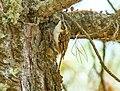 Hodgson's Treecreeper (Certhia hodgsoni) (38741827515) (cropped).jpg