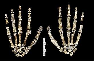 Homo naledi - Image: Homo naledi hand