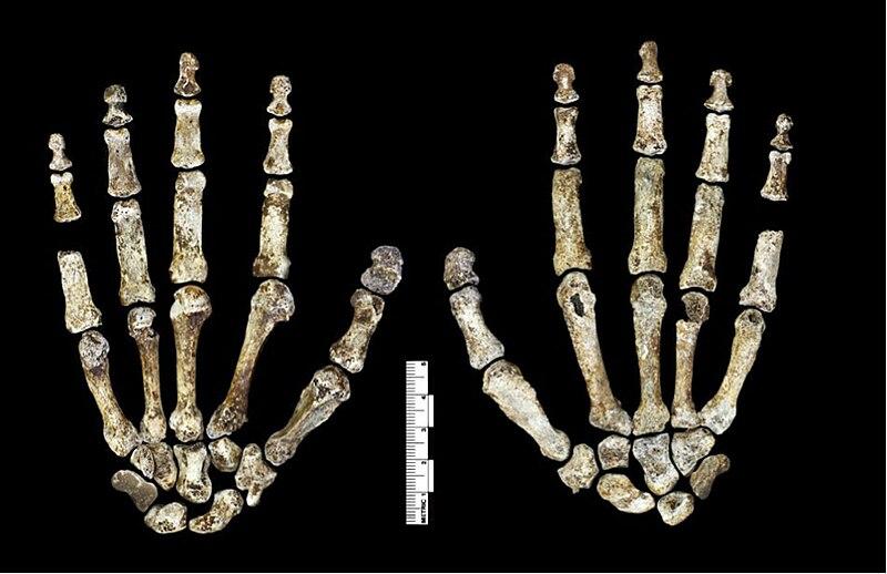 File:Homo naledi hand.jpg