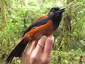 Hooded Pitohui 1.jpg