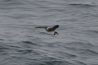 Hornby's storm petrel - At sea, showing the distinctive black band and cap