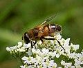 Hoverfly Eristalis tenax (44667421225).jpg