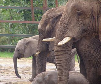 Howletts Wild Animal Park - The park has the largest breeding herd of African elephants in the United Kingdom