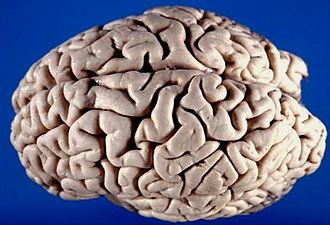 The Master and His Emissary - Superior-lateral view of the brain, showing left and right hemispheres.