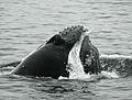 Humpback whale Robert Pitman NOAA PS9.jpg
