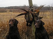 Hunting dogs with pheasants
