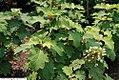 Hydrangea quercifolia Sikes Dwarf 2zz.jpg