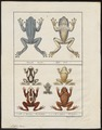 Hyla tinctoria - 1700-1880 - Print - Iconographia Zoologica - Special Collections University of Amsterdam - UBA01 IZ11500201.tif