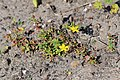 Hypericum humifusum kz11.jpg