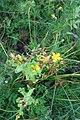 Hypericum perforatum L. familija (Hypericaceae) 01.jpg