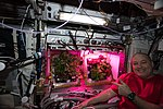 ISS-55 Scott Tingle tends to plants grown inside the VEGGIE in the Columbus lab.jpg