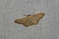 Idaea aversata (35769084466).jpg