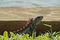 Iguana III.jpg