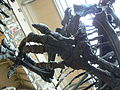 Iguanodon bernissartensis hands 2.JPG
