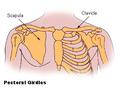 Illu pectoral girdles.png