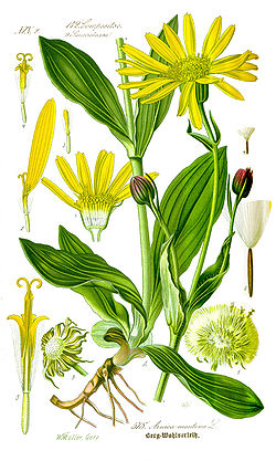 Illustration Arnica montana1.jpg