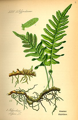 Illustration Polypodium vulgare0.jpg