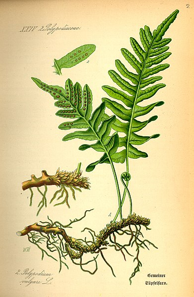 Fichier:Illustration Polypodium vulgare0.jpg