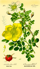 Illustration Rosa pimpinellifolia1.jpg