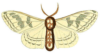 <i>Colla rhodope</i> species of insect