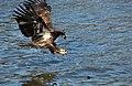 Immature Bald Eagle (Haliaeetus leucocephalus) (116195587).jpg