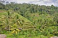 Incredibly green terraced rice fields (16872428009).jpg