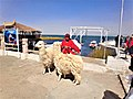 Indigenous with llamas in Villa on the banks of the Titicaca.jpg