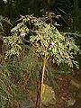 Indigofera australis BotGardBln271207.jpg