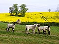 Inquisitive lambs - geograph.org.uk - 446882.jpg