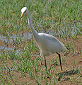 Intermediate Egret (Mesophoyx intermedia)- In Breeding plumage at Bharatpur I IMG 5350.jpg