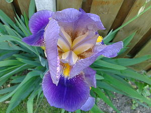Iris germanica - Image: Iris Germanica 2012 2