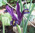 Iris histrioides.jpg