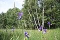Iris sibirica in natural monument Sterbu louka in 2011 (11).JPG