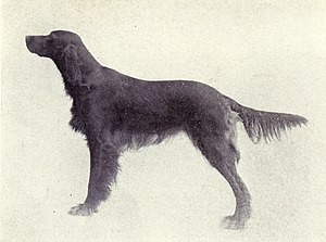 Irish Setter from 1915