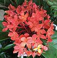 Ixora de Tahiti.jpg