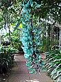 Jade vine (7014015227).jpg