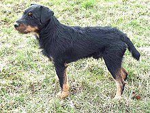 Jagdterrier, Deutscher, German Hunt Terrier, Irish Black and