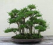 Japanese Boxthorn, 1951-2007.jpg