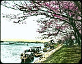 Japanese cherry trees in blossom on grassy bank beside waterways; people strolling under trees; docks and boats with people. (19950267415).jpg