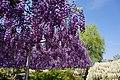 Japanese wisteria, Ashikaga Flower Park 12.jpg