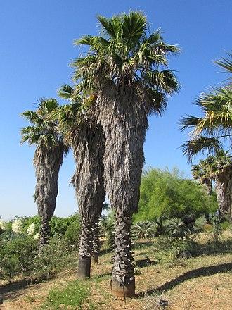 Washingtonia - Image: Jardi botanic de barcelona washingtonia filifera
