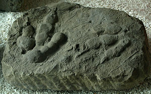 Ichnite - A reverse ichnite of the impression of Jialingpus yuechiensis, on display at the Paleozoological Museum of China.