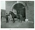 Jim, sole surviving horse of 1895 Great explosion.jpg