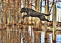 Jumping Retriever Zeus.jpg