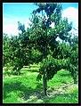 June Flower ^ Cherry Farming Endingen Kaiserstuhl - Master Seasons Rhine Valley Photography 2013 - panoramio (9).jpg