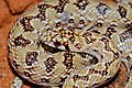 Juvenile Mole Snake (Pseudaspis cana) (7027018261).jpg