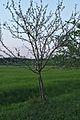 Kühkopf-Knoblochsaue Graue Herbstrenette Apple Tree.jpg